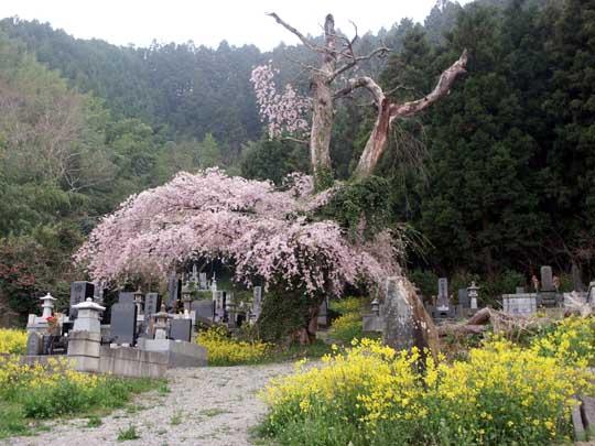 河南町 須江の佳景桜